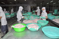Vietnamese workers are sorting pangasius fish after filleting in a seafood processing plant in the mekong delta Stock Images