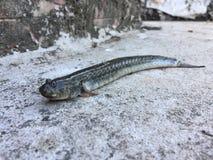 Vietnamesen förlänger mudskipper, den Pseudapocryptes elongatusen Royaltyfri Foto