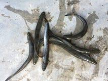Vietnamesen förlänger mudskipper, den Pseudapocryptes elongatusen Arkivfoto