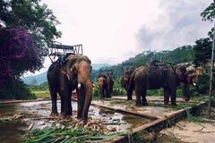 Vietnamesische Elefanten Lizenzfreie Stockfotos