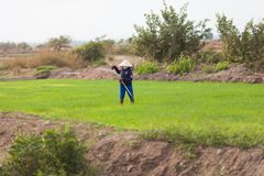 Vietnamesische Frau, die an den Reisfeldern arbeitet Stockfotos