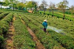 Vietnamesische Frauen, die auf den Teegebieten arbeiten stockfotografie