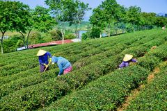 Vietnamesische Frauen, die auf den Teegebieten arbeiten lizenzfreie stockbilder