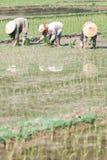 Vietnamesische Landwirte, die Reis pflanzen Stockbilder