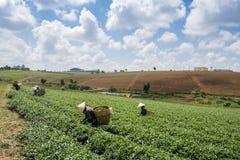 Vietnamesische peaople Tee-Pflücker im Bao Loc-Hügeltee lizenzfreie stockfotos