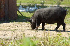 Vietnamesische Schweine Lizenzfreie Stockfotografie