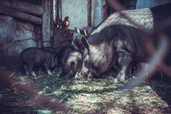 Vietnamesische Schweine Lizenzfreies Stockfoto
