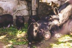 Vietnamesische Schweine Stockfoto