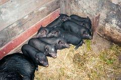 Vietnamesische Schweine Stockbild