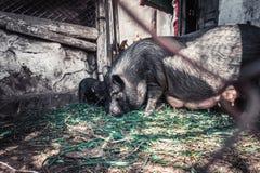 Vietnamesische Schweine Lizenzfreie Stockbilder