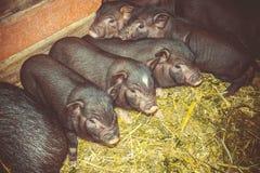 Vietnamesische Schweine Stockfotos