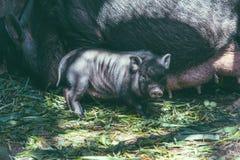 Vietnamesische Schweine Stockbilder