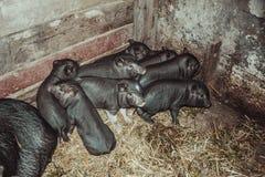 Vietnamesische Schweine Stockfotografie