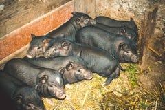 Vietnamesische Schweine Lizenzfreies Stockbild