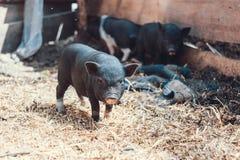 Vietnamesische Schweine Lizenzfreie Stockfotos