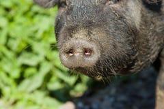 Vietnamesische Schweinschnauze Stockbilder