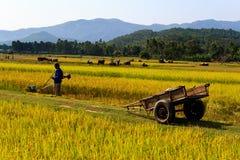 Vietnamesischer Landwirt, der auf den Reisgebieten arbeitet lizenzfreie stockfotografie