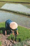 Vietnamesischer Landwirt, der Reis pflanzt stockfotografie