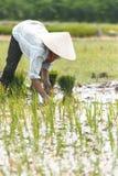 Vietnamesischer Landwirt, der Reis pflanzt Stockfoto