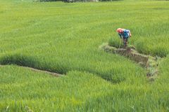 Vietnamesischer Landwirt, der Reis pflanzt lizenzfreies stockbild