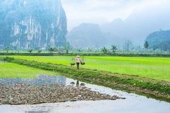 Vietnamesischer Landwirt, der am Reisfeld arbeitet Ninh Binh, Vietnam lizenzfreies stockfoto