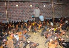 Vietnamesischer Landwirt, zum des Huhns durch Reis einzuziehen Stockbild