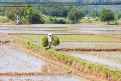 Vietnamesischer Mann, der an den Reisfeldern geht Stockbilder
