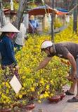 Vietnamesischer Mann kauft Aprikosenbaum in der Blüte Lizenzfreie Stockfotos