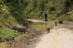 Vietnamesischer Mann lebt Schweine in Herden Lizenzfreie Stockbilder