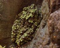 Vietnamesischer moosiger Frosch Stockbild