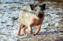 Vietnamesisches Mini-schwein Stockbild