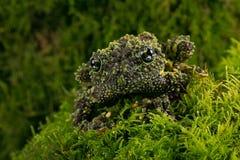 Vietnamesisches moosiges Frosch Theloderma-corticale stockfotografie