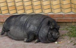 Vietnamesisches potbellied Schwein Stockfotografie