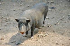 Vietnamesisches schwarzes Schwein Lizenzfreies Stockfoto