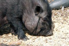 Vietnamesisches Schwein stockbilder