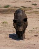 Vietnamesisches Schwein   Lizenzfreies Stockbild