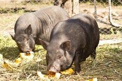 Vietnamesisches Schwein Lizenzfreies Stockfoto