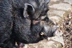 Vietnamesisches Schwein Stockfoto