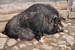 Vietnamesisches Schwein stockfotografie