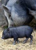Vietnamesisches Schwein Stockbild