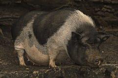 Vietnamesisches Schwein Lizenzfreie Stockfotografie