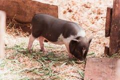 Vietnamesisches Schwein Stockfotos