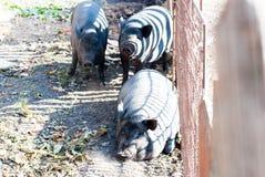 Vietnamesisches Schwein, das in der Sonne sich aalt Lizenzfreie Stockfotografie
