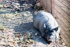 Vietnamesisches Schwein, das in der Sonne sich aalt Stockfoto