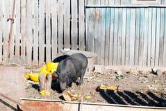 Vietnamesisches Schwein im Dorfyard Stockbild