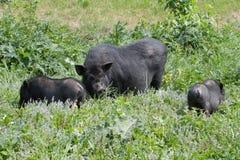 Vietnamesisches Schwein mit Ferkeln Lizenzfreies Stockbild