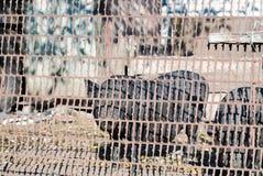 Vietnamesisches Schwein schaut über dem Zaun Stockbild