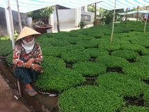 Vietnamesisk asiatisk bonde Selling Chili Plants Royaltyfri Fotografi