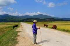 Vietnamesisk bonde som arbetar i risfälten arkivbild