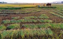 Vietnamesisk bonde som arbetar i risfälten royaltyfri bild